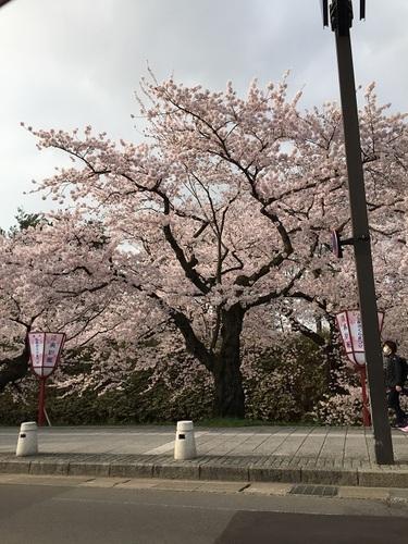 車窓から外濠の桜を
