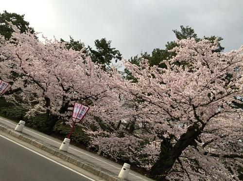 外濠の桜を車窓から2